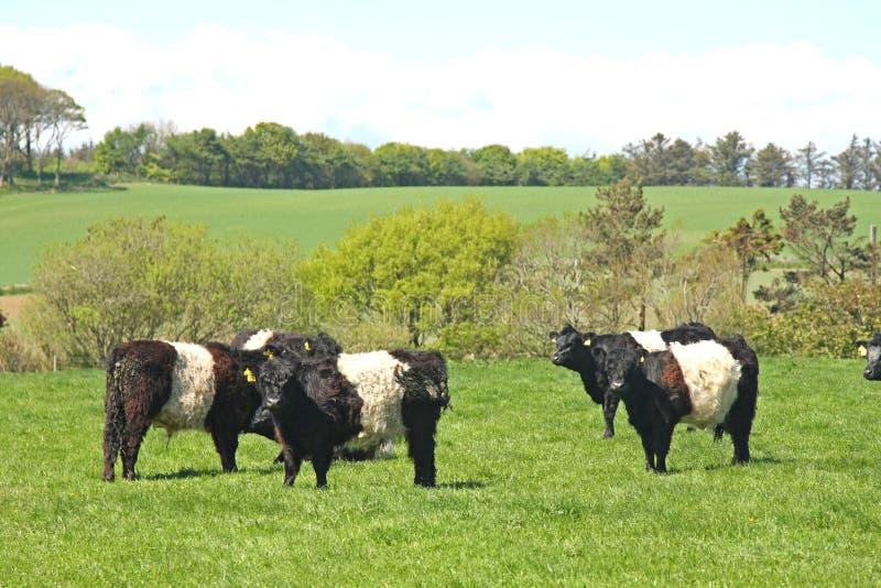 Vacas cercadas de Galloway imagem de stock