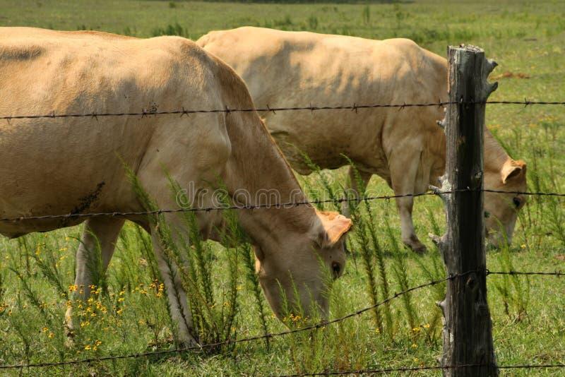 Vacas color nata de Charolais que pastan imagen de archivo libre de regalías