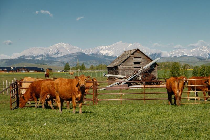 Vacas como ganado tradicional en Alberta meridional, Canadá fotografía de archivo