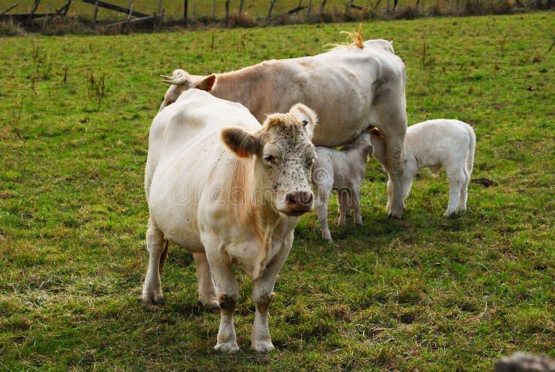 Vacas con los becerros jovenes imagenes de archivo