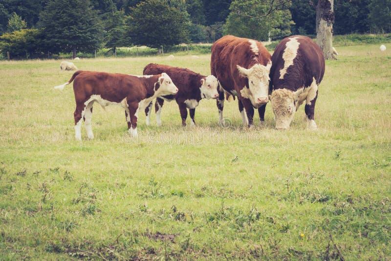 Vacas da família foto de stock