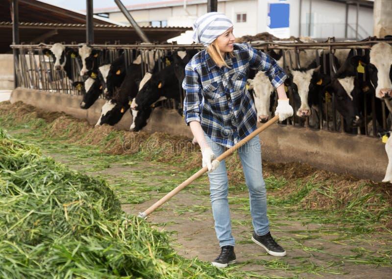 Vacas de alimentación del técnico de sexo femenino con la hierba en granero del ganado imagen de archivo libre de regalías