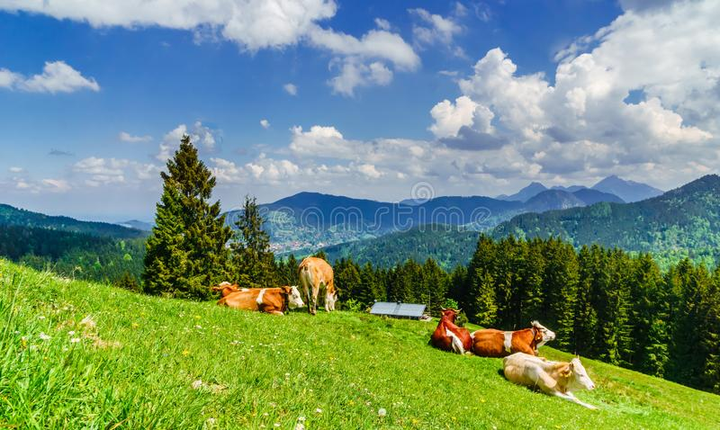 Vacas de Brown nos cumes de Baviera - Alemanha fotografia de stock