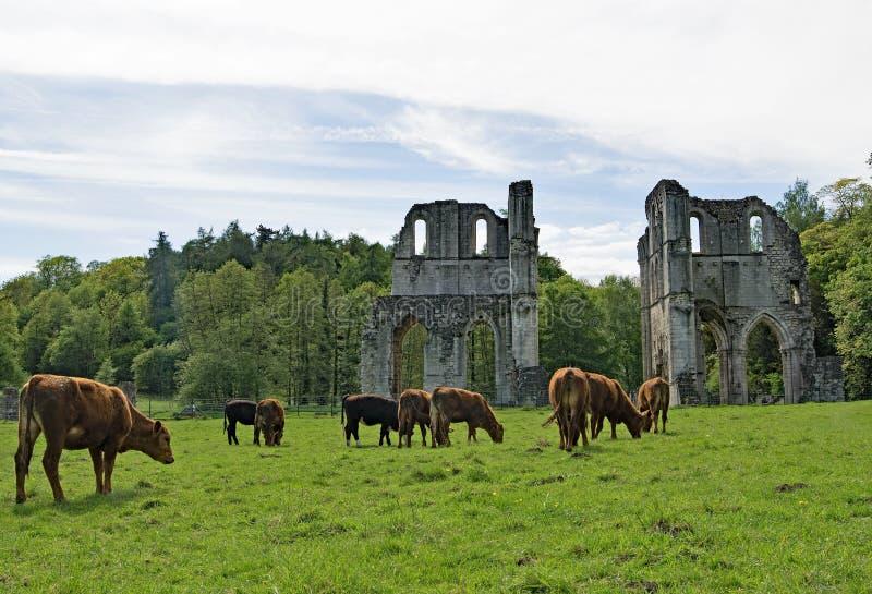 Vacas de Brown que aproximam a abadia de Roche imagens de stock royalty free