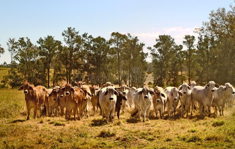 Vacas de carne australianas do brahma do rancho de gado de Austrália fotografia de stock