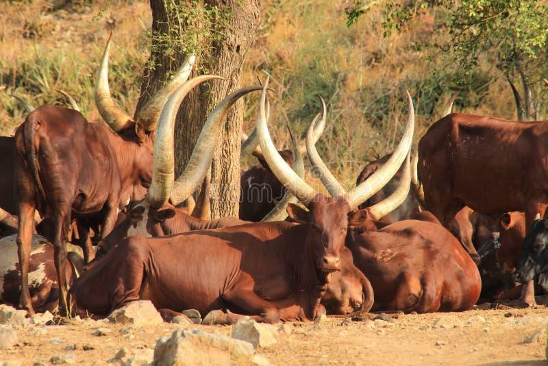 Vacas de cuernos largas en Uganda imágenes de archivo libres de regalías