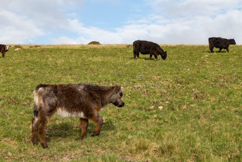 Vacas de Dartmoor foto de archivo libre de regalías