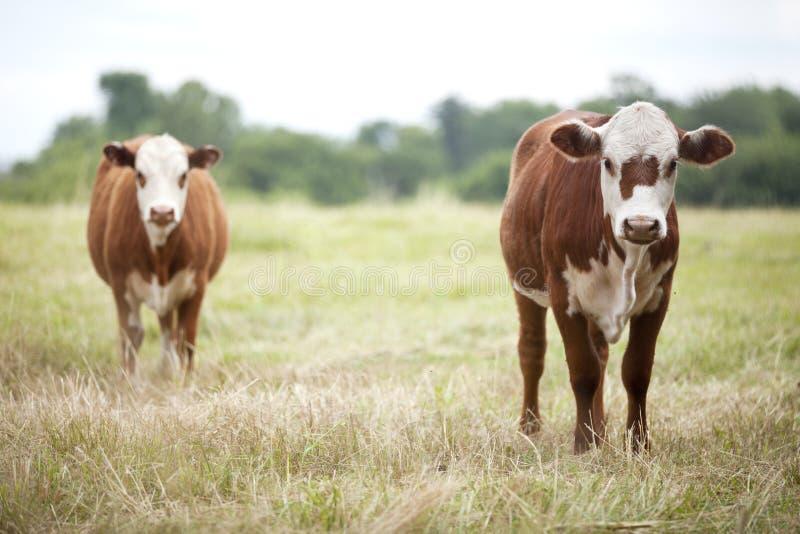 Vacas de ganado de Brown en campo fotografía de archivo libre de regalías
