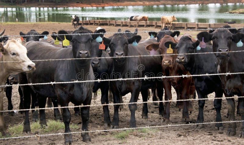 Vacas de ganado de la matanza de la subasta del ganado imagen de archivo libre de regalías