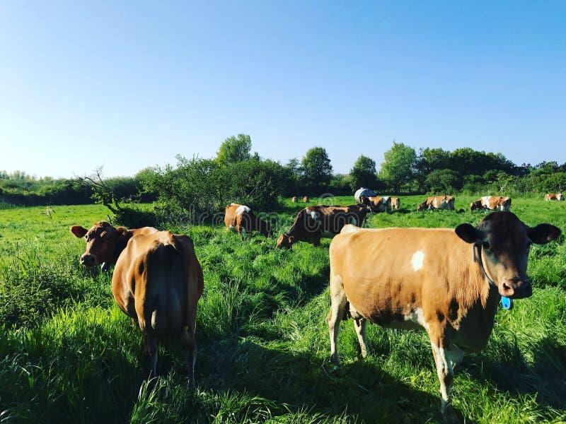 Vacas de Guernsey imagens de stock