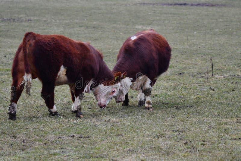 VACAS de HEREFORD - luta de touros nova e poder de medição fotografia de stock royalty free