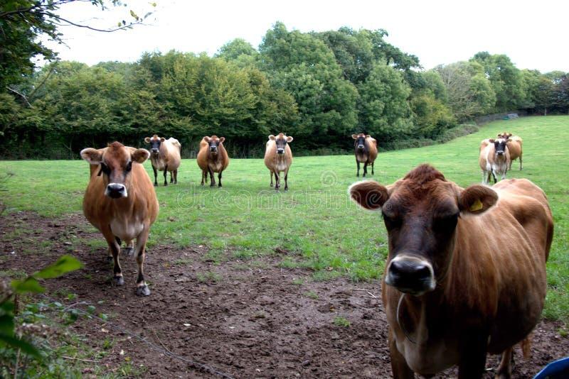 Vacas de Jersey imágenes de archivo libres de regalías