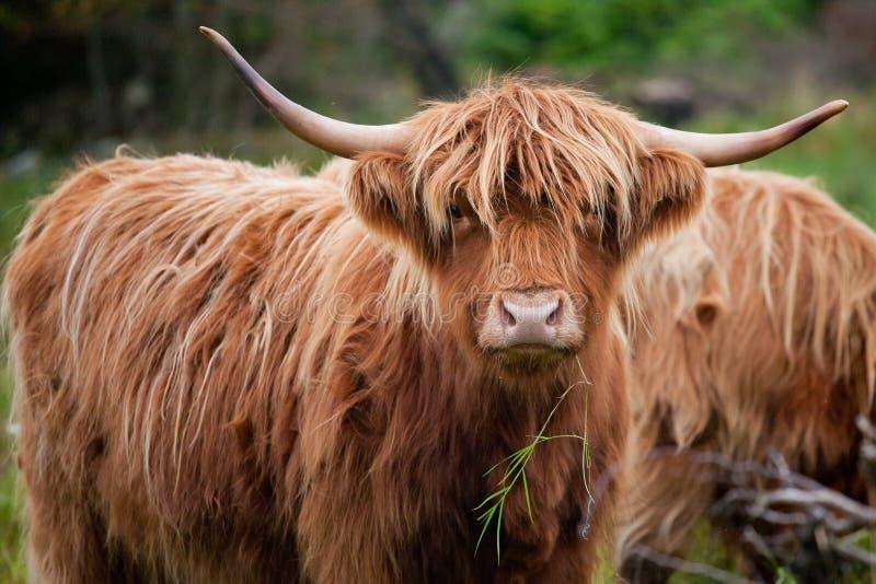 Vacas de la montaña en la isla de Lewis y de Harris en Escocia fotos de archivo