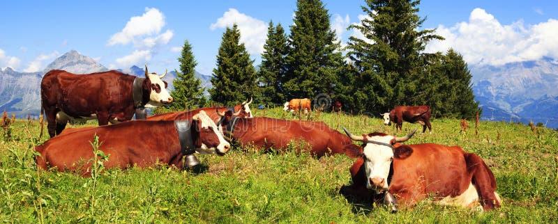 Vacas de leche de Brown fotografía de archivo