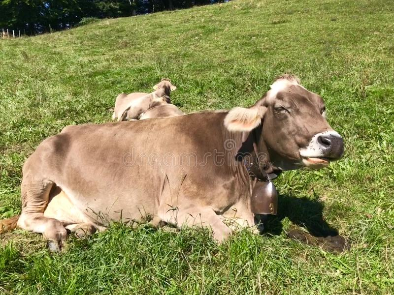 Vacas de leite de Brown do suíço em um pasto na montanha de Pfaender fotografia de stock