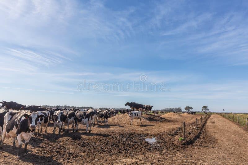 Vacas de leiteria do frisão da raça de Holstein, pastando no campo Vaca de leiteria do frisão da raça de Holstein, pastando no ca fotos de stock