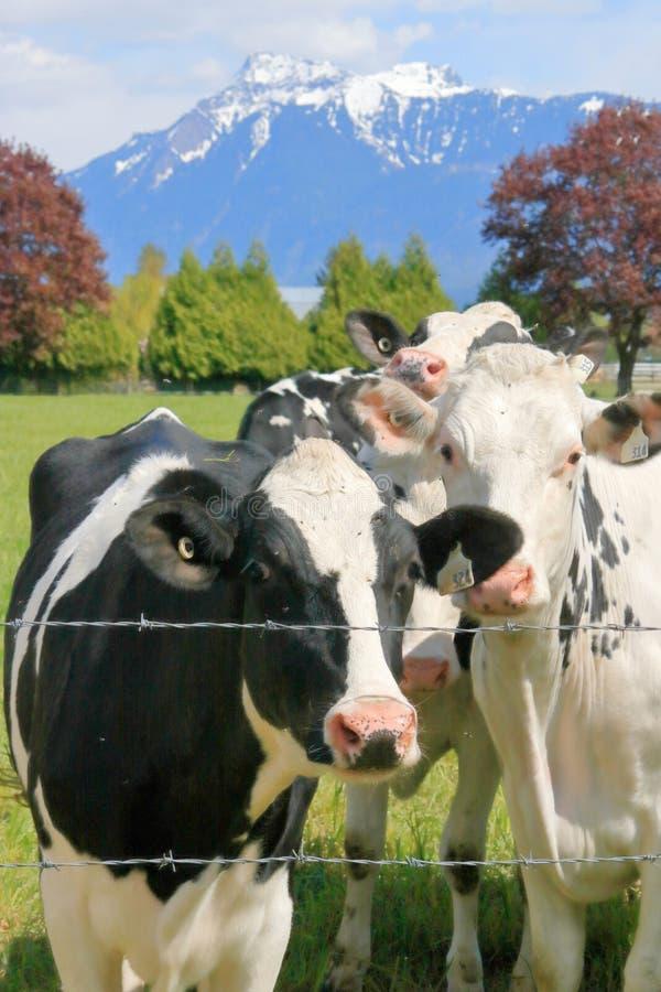 Vacas de leiteria e pasto cênico imagens de stock
