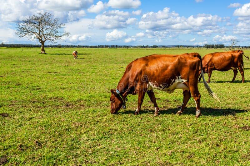 Vacas de leiteria no pastos mais verdes fotografia de stock royalty free