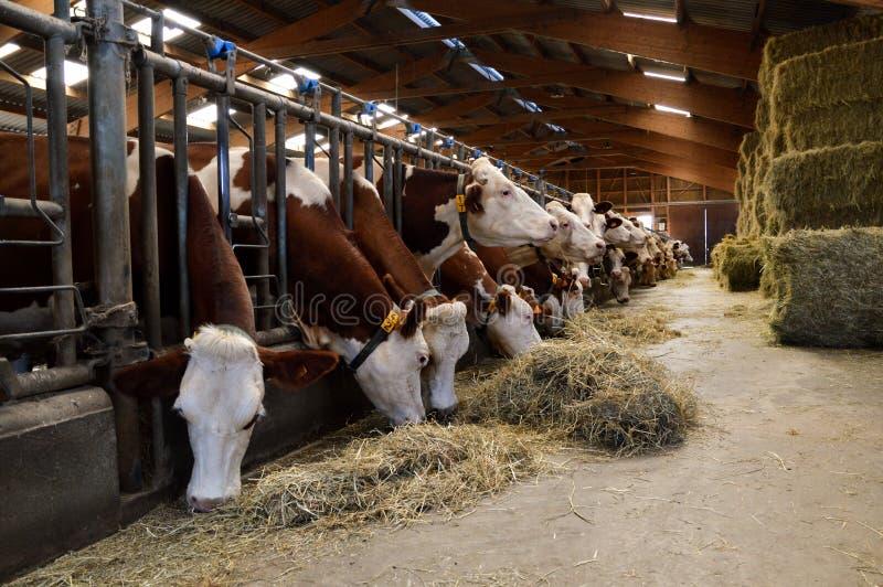 Vacas de leiteria nos estábulos imagem de stock