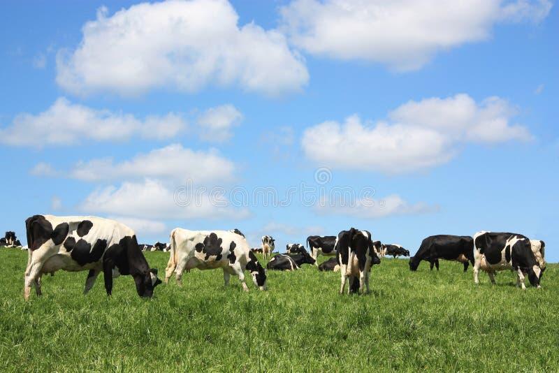 Vacas de leiteria satisfeitas fotos de stock