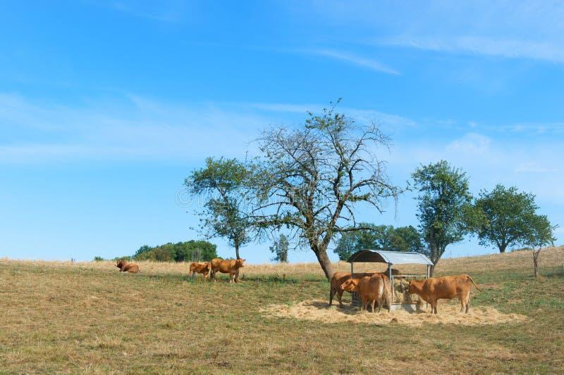 Vacas de Lemosín imágenes de archivo libres de regalías