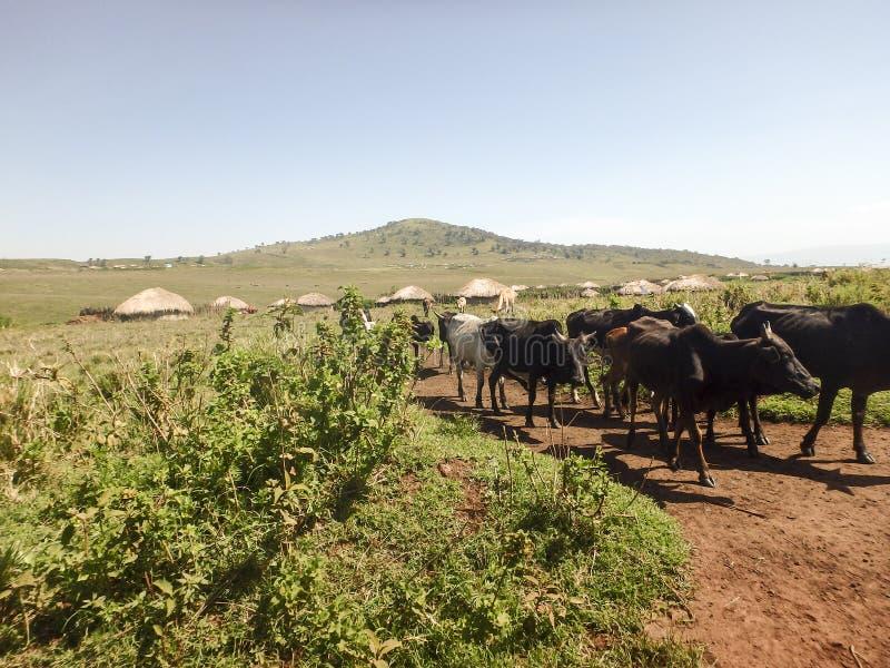 Vacas de Maasi na estrada de terra, área da conservação de Ngorongoro, Tanzânia fotografia de stock