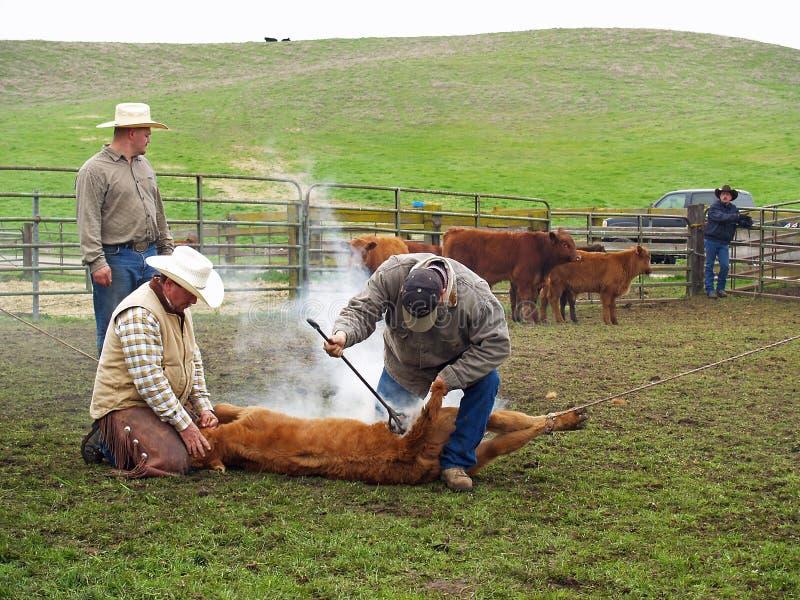Vacas de marcagem com ferro quente imagem de stock
