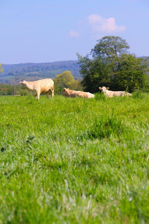Vacas de Normandía en pasto imagen de archivo