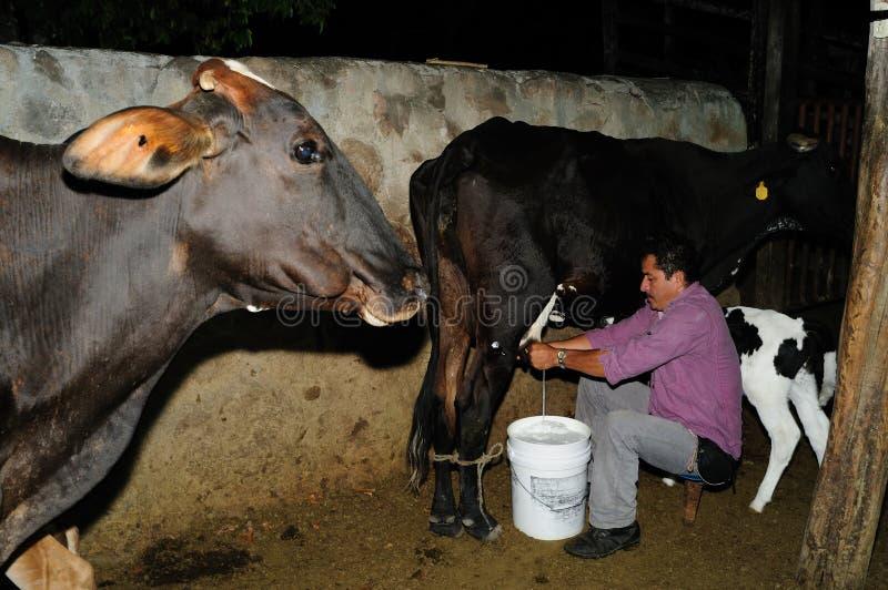 Download Vacas De Ordenha - Colômbia Imagem Editorial - Imagem de vitela, país: 26503325