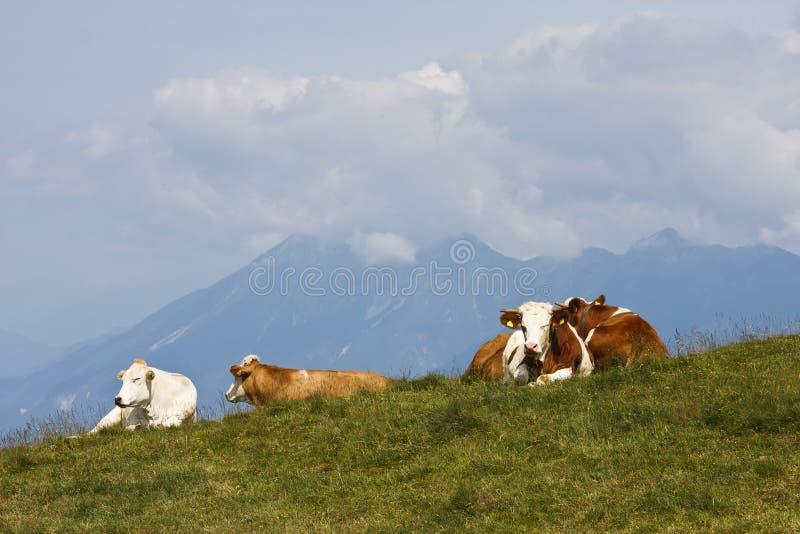 Vacas de reclinación en el país austríaco, Dreilandereck foto de archivo libre de regalías
