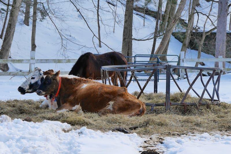 Vacas de reclinación en invierno fotografía de archivo libre de regalías
