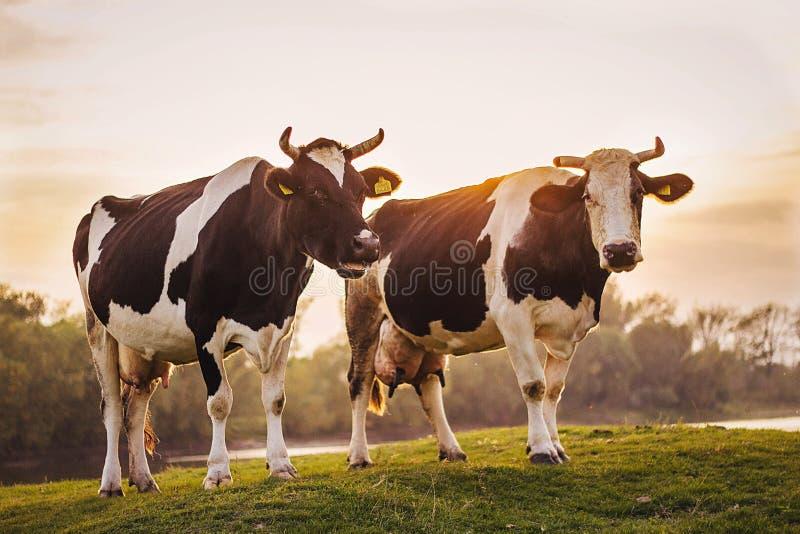 Vacas de Rubenesque fotografía de archivo libre de regalías