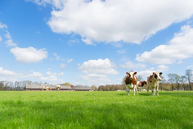 Vacas del blanco de Brown fotos de archivo