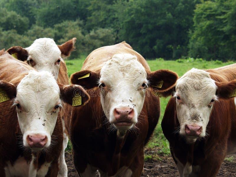 Vacas dinamarquesas fotografia de stock
