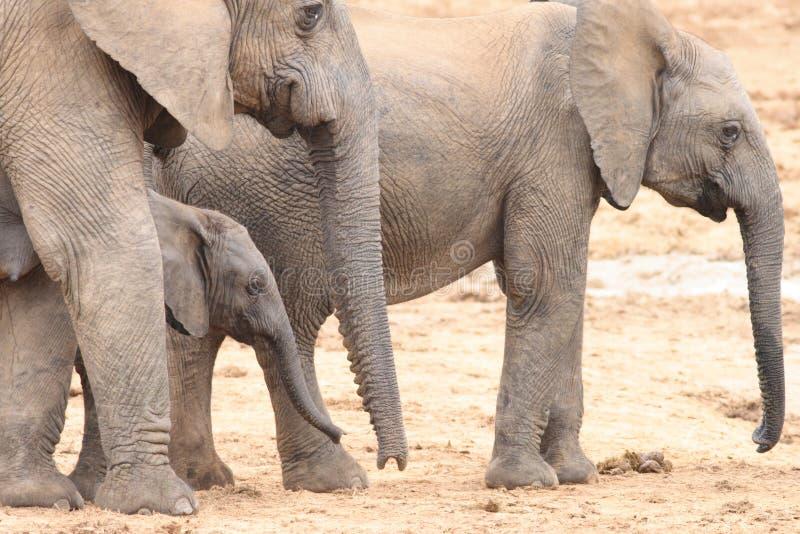 Vacas do elefante africano com vitela fotografia de stock