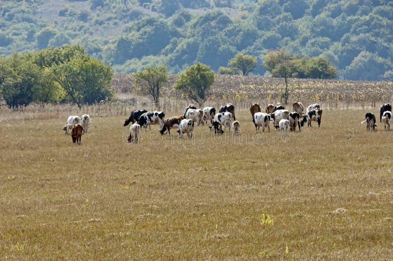 Vacas do grupo no prado imagens de stock royalty free