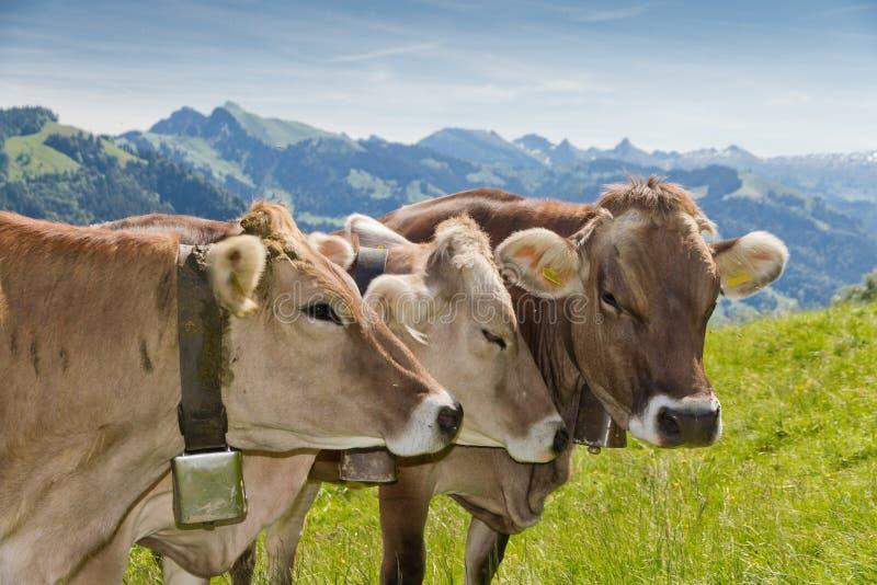 Vacas do suíço de Brown foto de stock royalty free