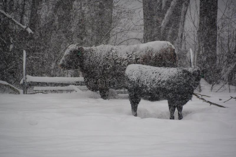 Vacas durante uma tempestade do inverno fotografia de stock