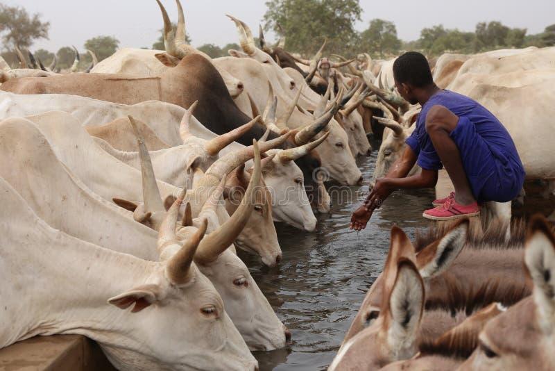 Vacas e asnos que bebem no norte de Senegal imagem de stock royalty free