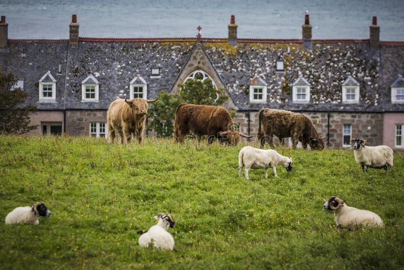 Vacas e carneiros perto de Iona Island Bishops House fotografia de stock