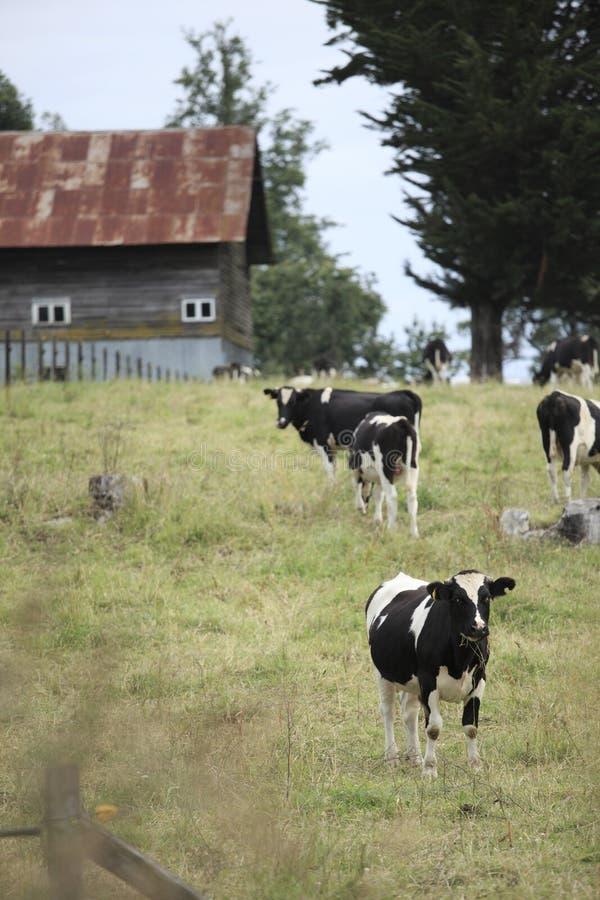 Vacas e celeiro chile fotos de stock