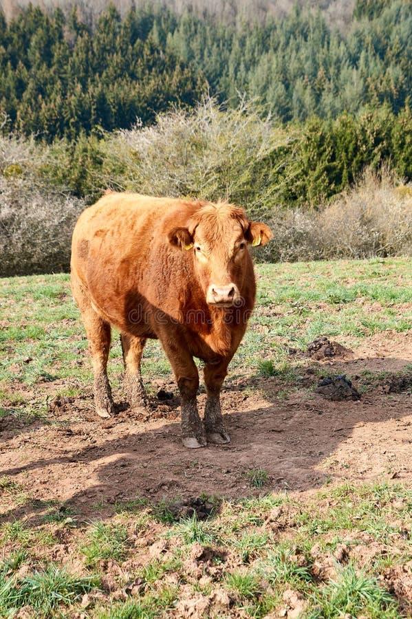 Vacas e gado de Brown em um dia de mola em Alemanha imagem de stock royalty free