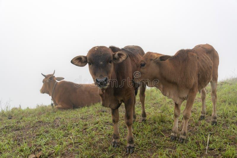 Vacas e vitelas na exploração agrícola com fundo da névoa densa na parte 3 do alvorecer fotos de stock royalty free