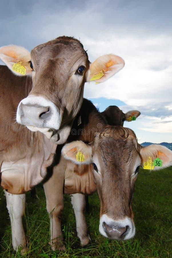 Vacas em alpes foto de stock royalty free