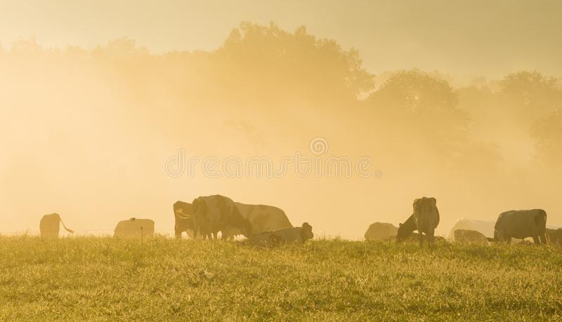 Vacas em Misty Morning Sunrise fotografia de stock royalty free