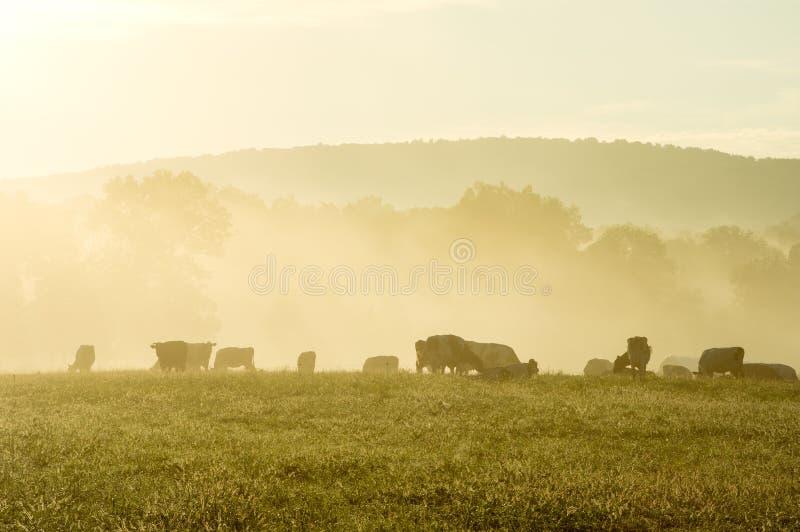 Vacas em Misty Morning Sunrise fotografia de stock