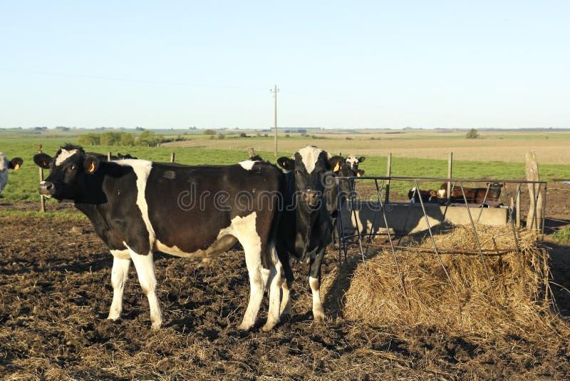Vacas em pampas latino-americanos do grupo. fotos de stock royalty free