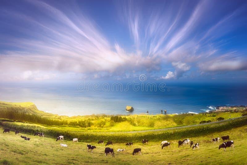 Vacas em prados e em oceano em Ponta Delgada, Açores fotografia de stock