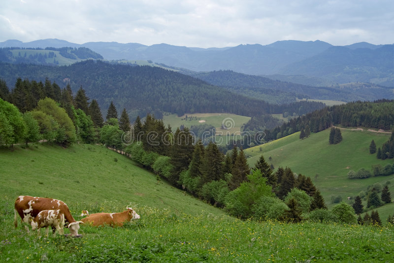 Vacas em Schwarzwald imagens de stock