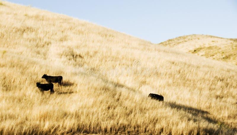 Vacas em um monte fotografia de stock